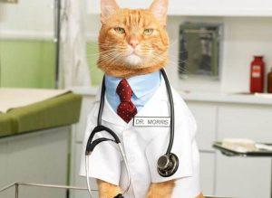 gato raza main coon