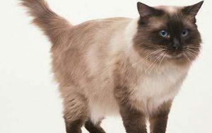 Sagrado gato de birmania