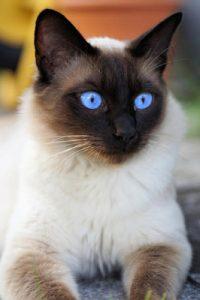 Gato Siamés Uno De Los Gatos Más Bonitos Del Planeta