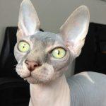 gato sphynx o esfinge