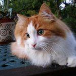 gato angora