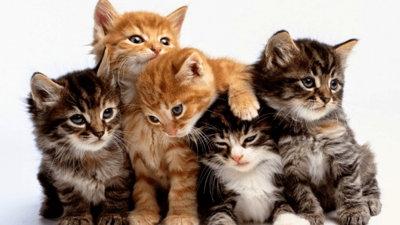 mejor raza de gato para tener en casa
