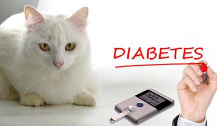 Diabetes en gatos o diabetes felina, información y consejos