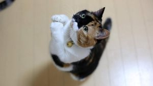 diabetes en gatos o diabetes felina