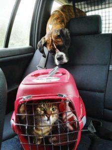 como llevar un gato en el coche