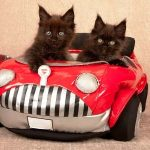 ccomo llevar un gato en el coche
