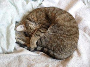 Por qué mi gato duerme conmigo