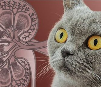 Insuficiencia renal en gatos