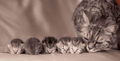 Porque los gatos se comen a sus crias