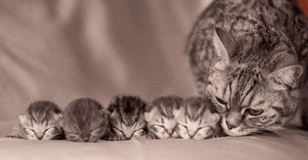 Por que los gatos se comen a sus crias