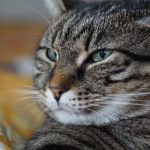 ¿Los gatos lloran?