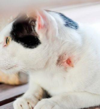 Enfermedades transmitidas por los gatos
