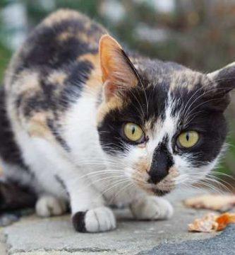 Como domesticar un gato
