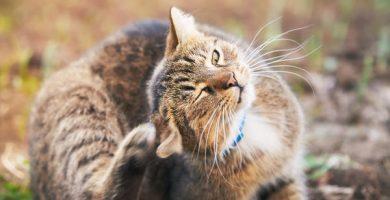 Cómo limpiar las orejas de mi gato