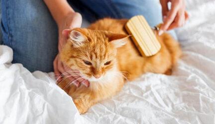 caspa en gatos