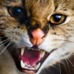 ¿Su gato se comporta de forma agresiva?