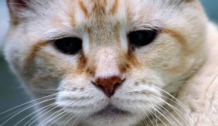 Tratar el dolor en gatos mayores