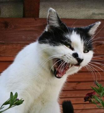 11 sonidos de gato y su significado