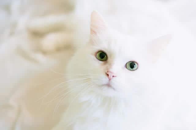 FIV en gatos | Gatito esponjoso
