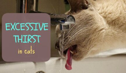 Excessive thirst in cats
