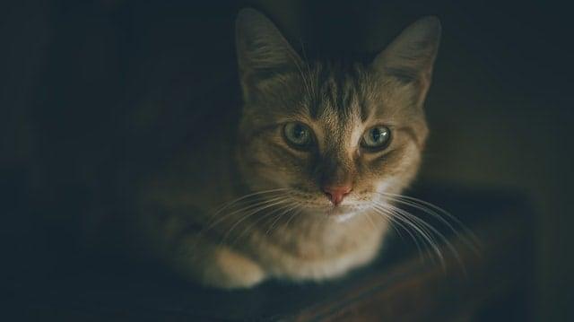Acné de barbilla de gato
