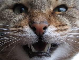 cómo evitar que mi gato me muerda enfurecido